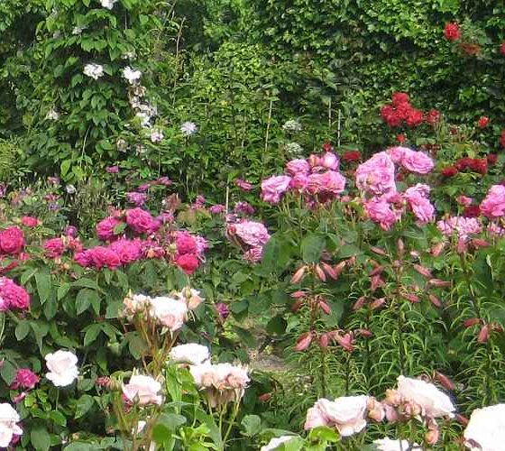 Rose Planting in Garden - Rose Garden in Pink, Fuchsia, Red and White