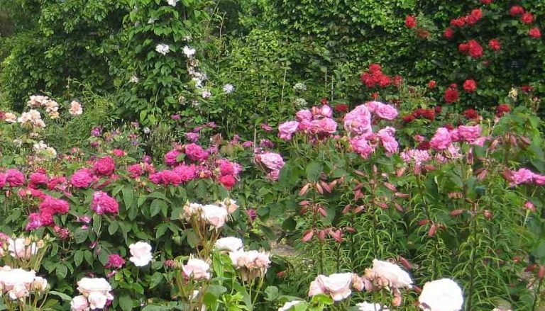 Rose Garden in Pink, Fuchsia, Red and White