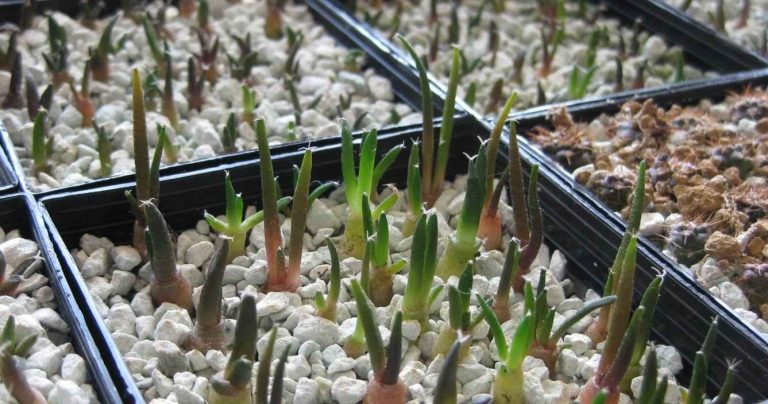 Horticultural Use of Zeolite as Substrate for Succulent Cuttings