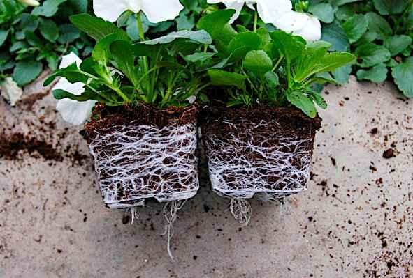 Plants Comparison by Soil Mixture with & Without Zeolite. Left Pansy Plant with Zeolite in Soil Mixture has Richer Root System.
