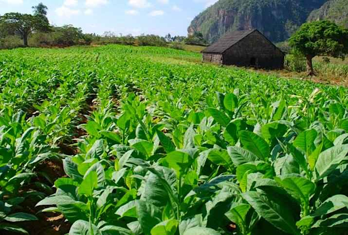 History of Tobacco - Nicotiana tabacum Crop in Cuba