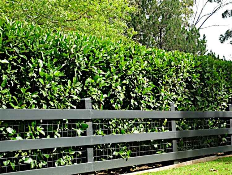 Hedges in the Garden and Landscape - Hedge of Viburnum Odoratissimum Behind of a Low Fence
