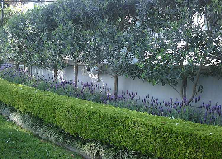 Mixed Hedge of Buxus, Lavandula & Olive Trees for Privacy Screen