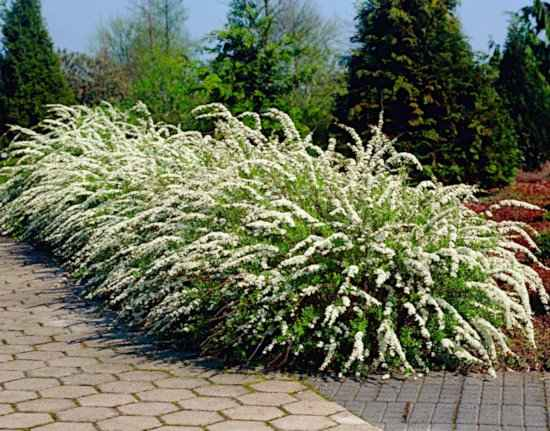 Spiraea x cinerea 'Grefsheim', in Blooming Used as an Informal Hedge