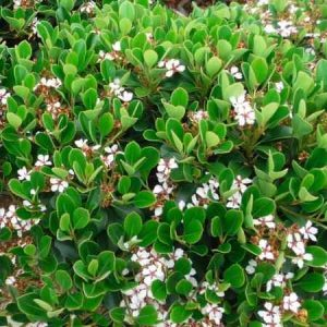 Rhaphiolepis umbellata (Rhaphiolepis) - Evergreen Shrubs for Coastal Areas