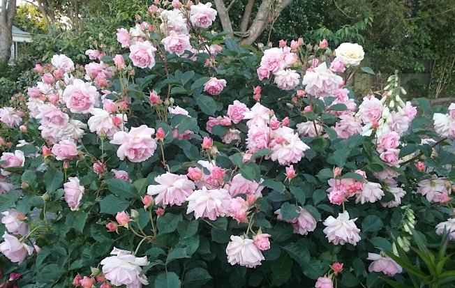 Rosa 'Felicia' in Full Blooming