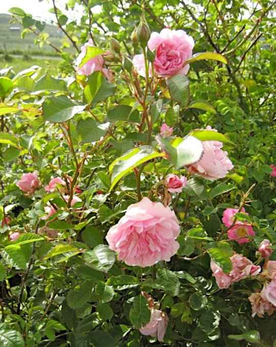 The Flowers, Buds and Leaves of Rosa 'Felicia' Hybrid Musk
