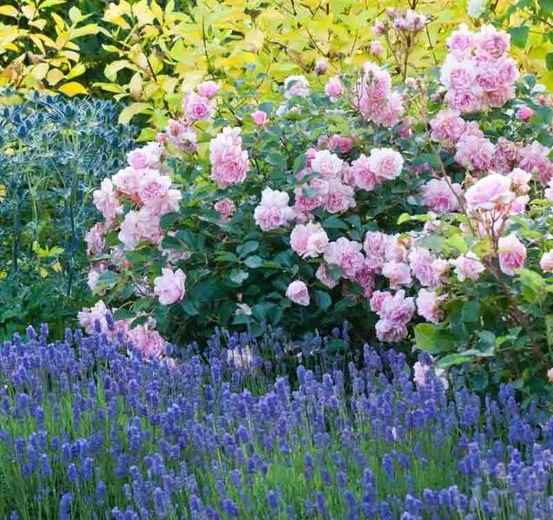 Rosa 'Felicia' Shrub and Lavandula sp. in Full Blooming