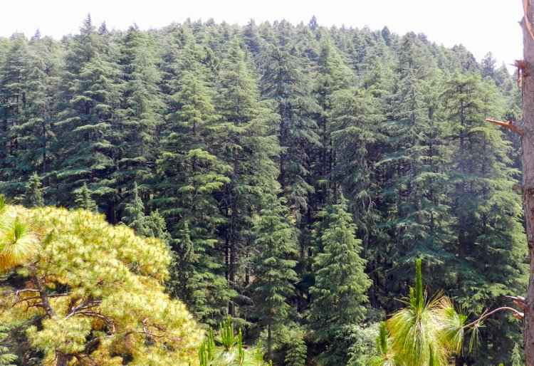 Himalayan Cedar Trees in a Forest