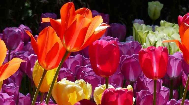 Tulips with Orange, Purple, Red and Yellow Flowers - Credits: Jovanel
