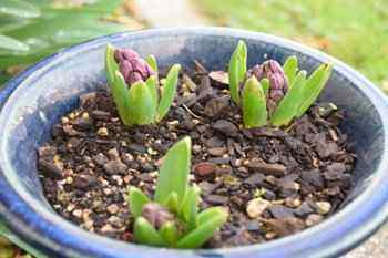 Hyacinths Planted in Small Flowerpot