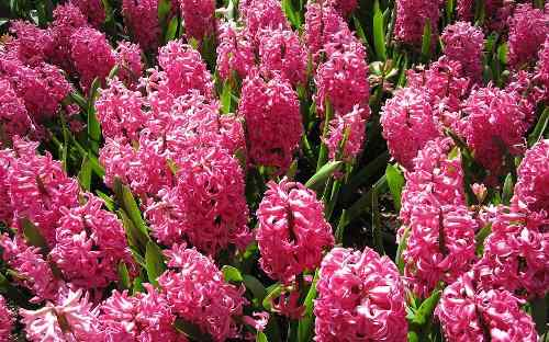 When, Where and How to Plant Hyacinths - Pink Hyacinths in Full Blooming