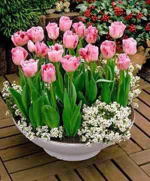 Where, When and How to Plant Tulip Bulbs - Flowered Tulips of the Variety 'Angelique' with Candytufts (Iberis sempervirens)