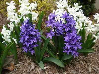 When, Where and How to Plant Hyacinths - Layer with Bark or Straw to Protect Hyacinths from Freeze