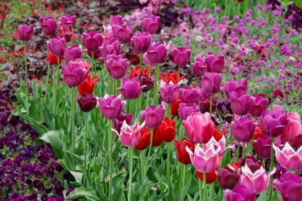 Where, When and How to Plant Tulip Bulbs - Purple and Red Tulips in Bloom - Credit 3dman