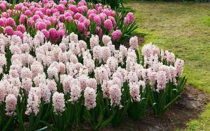 When, Where and How to Plant Hyacinths - White and Pink Hyacinths Planted in Garden