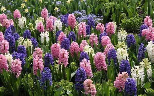 Blue, White and Pink Hyacinths Planted in Garden
