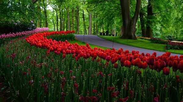 Where, When and How to Plant Tulip Bulbs - Red Tulips Planted in Half-Shadow - Credits: Sylabo