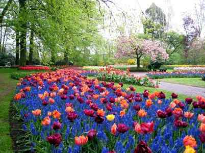 Where, When and How to Plant Tulip Bulbs - Tulips and Muscari in the Famous Botanical Gardens of the Keukenhof