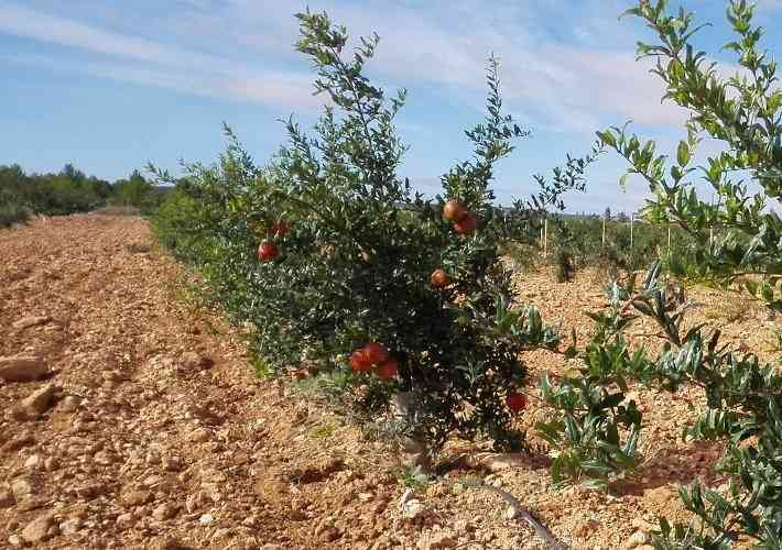 Pomegranate Plantation on Rocky Soil