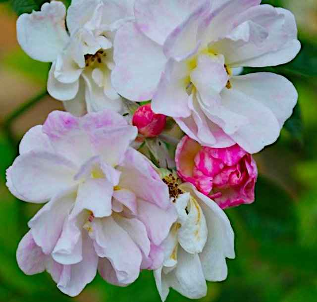 Joseph Pemberton & Hybrid Musk Roses - The Flowers of the Daphne Rose Hybrid Musk Variety