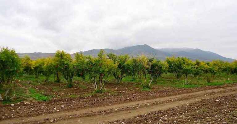 Site Selection for Pomegranate Orchard - Pomegranate Plantation with Slight Soil Slope