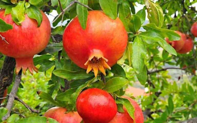 Attractive Color Pomegranate Fruits on Tree