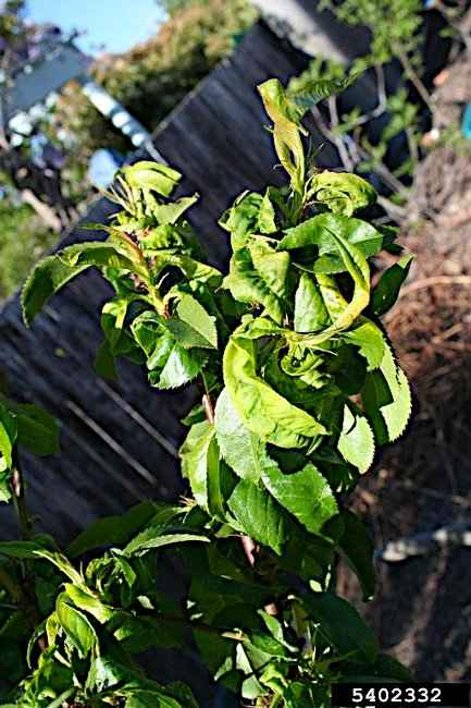Symptoms of Peach Leaf Curl - © Lesley Ingram, Bugwood.org