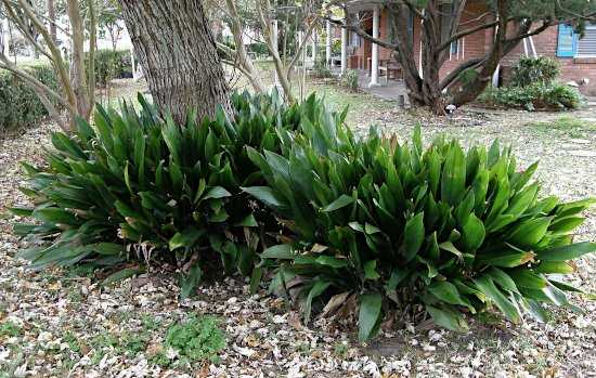 Cast Iron Plant (Aspidistra elatior) Around the Base of a Tree
