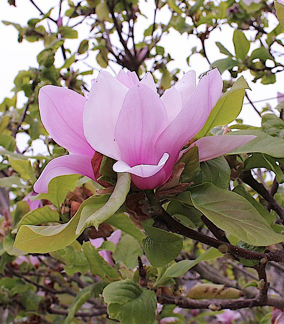 The Open Flower of Saucer Magnolia