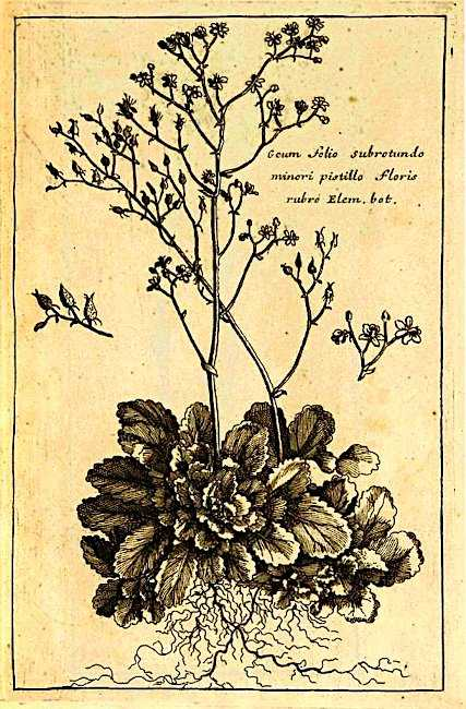 French Botanist Pierre Magnol - The Plant 'Geum folio subrotundo minori pistillo floris rubrio', from Hortus Regius Monspeliensis