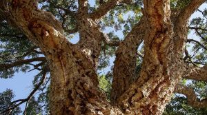Cork Oak Bark of Tree Branches