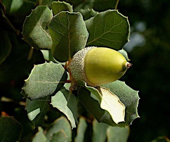 Fruit of a Quercus suber Tree