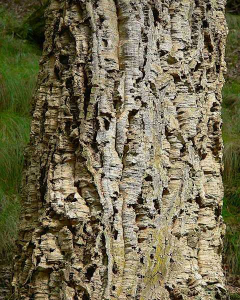 The Bark of a Quercus suber Tree