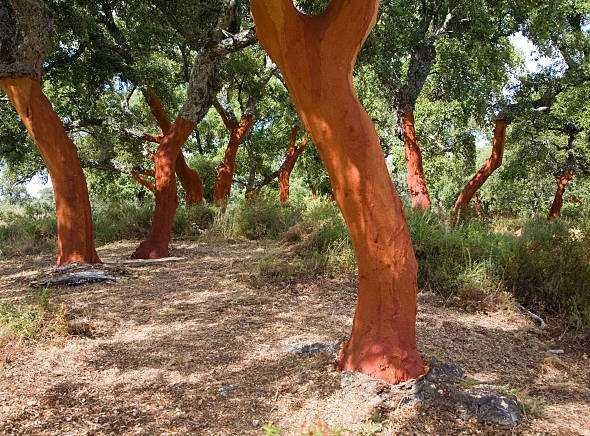 Quercus suber Red Tree Trunks After Bark Harvest