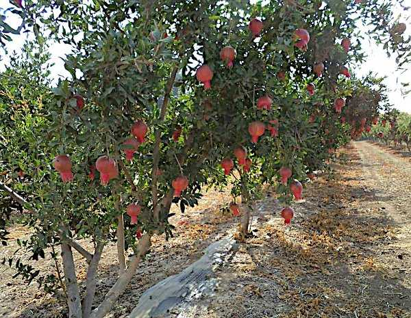 Pomegranate Trees (Punica Granatum) in an Orchard
