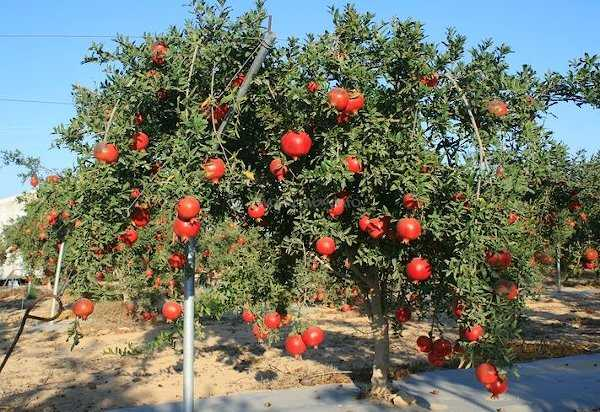 Pomegranate Planting - Pomegranate Trees with Y-Shape Support