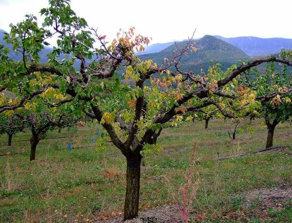 infected Apricot Tree by Peach Rootborer