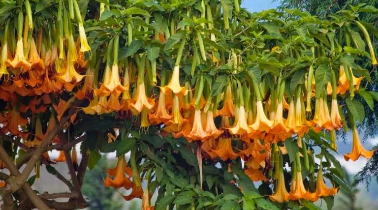 Brugmansia ssp. with Orange Flowers