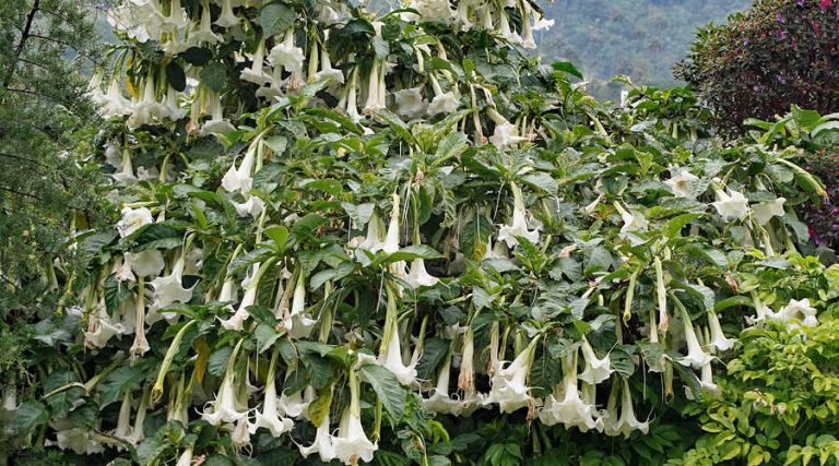 Brugmansia arborea in the Central Andes Mountain Range of Colombia