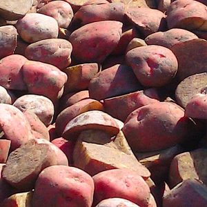 Cutting Potatoes Ready For Planting