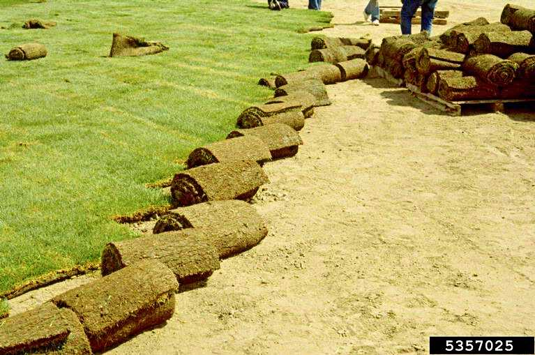 In Preparation for Creating a Lawn the Sod is Rolling Out - © William M. Brown Jr., Bugwood.org