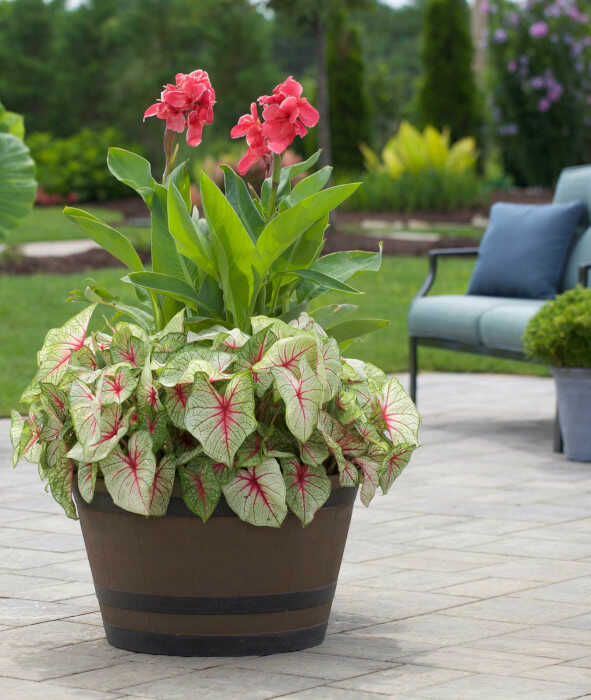 Canna 'Pink Magic' and Caladium 'White Queen' in a Planter