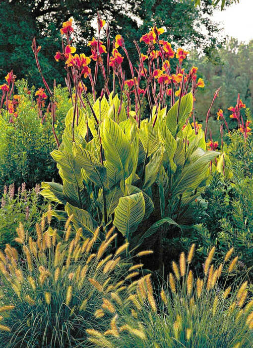 Canna Lily Planting - Cannes (Canna 'Striata') and Grasses in the Garden, in an Extremely Successful Combination