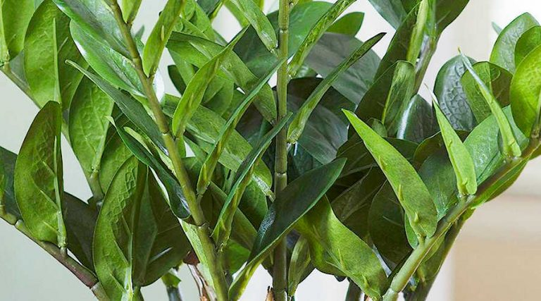 Care of ZZ Plant - The ZZ Plant Waxy & Glabrous Leaves