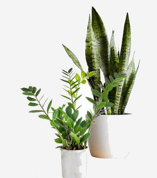 The ZZ Plant & the Snake Plant in Pots