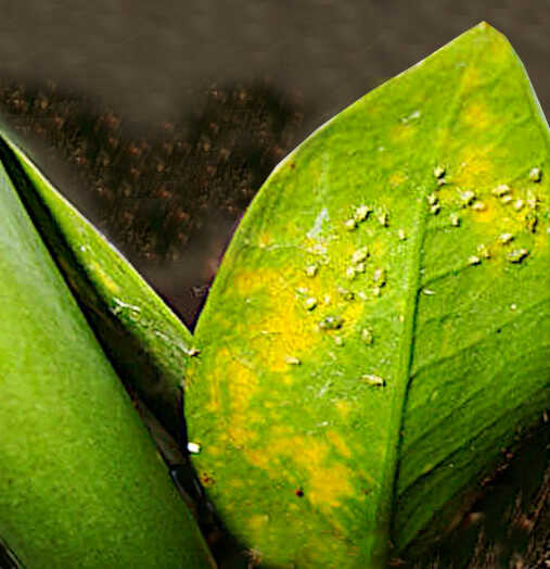 Care of ZZ Plant - Infection of Aphids on a Leaf of Zamiokoulkas