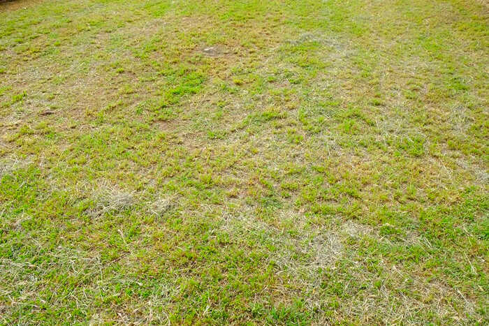 Suitable Soil for Grass Seed - A Yellowish Color Lawn that Needs Liming