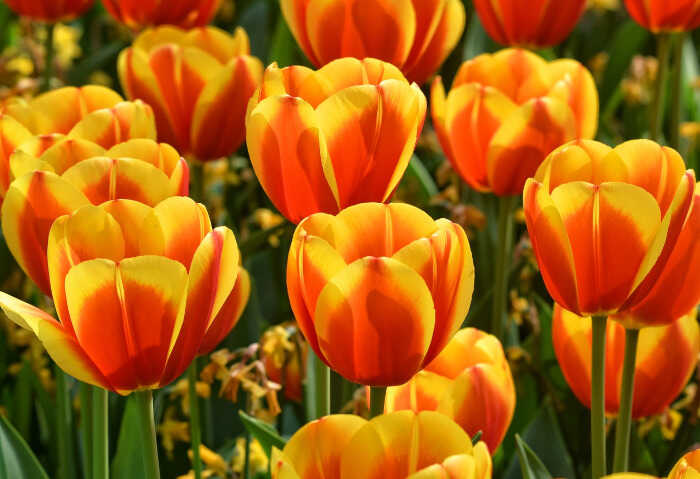Tulip Types or Cultivar Groups of the Plant - Bicolored Tulip Flowers