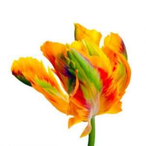Tulip Types - Parrot Group (P) - Tulips Division